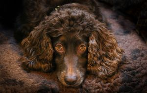 TWEED Crufts 2016-c55.jpg